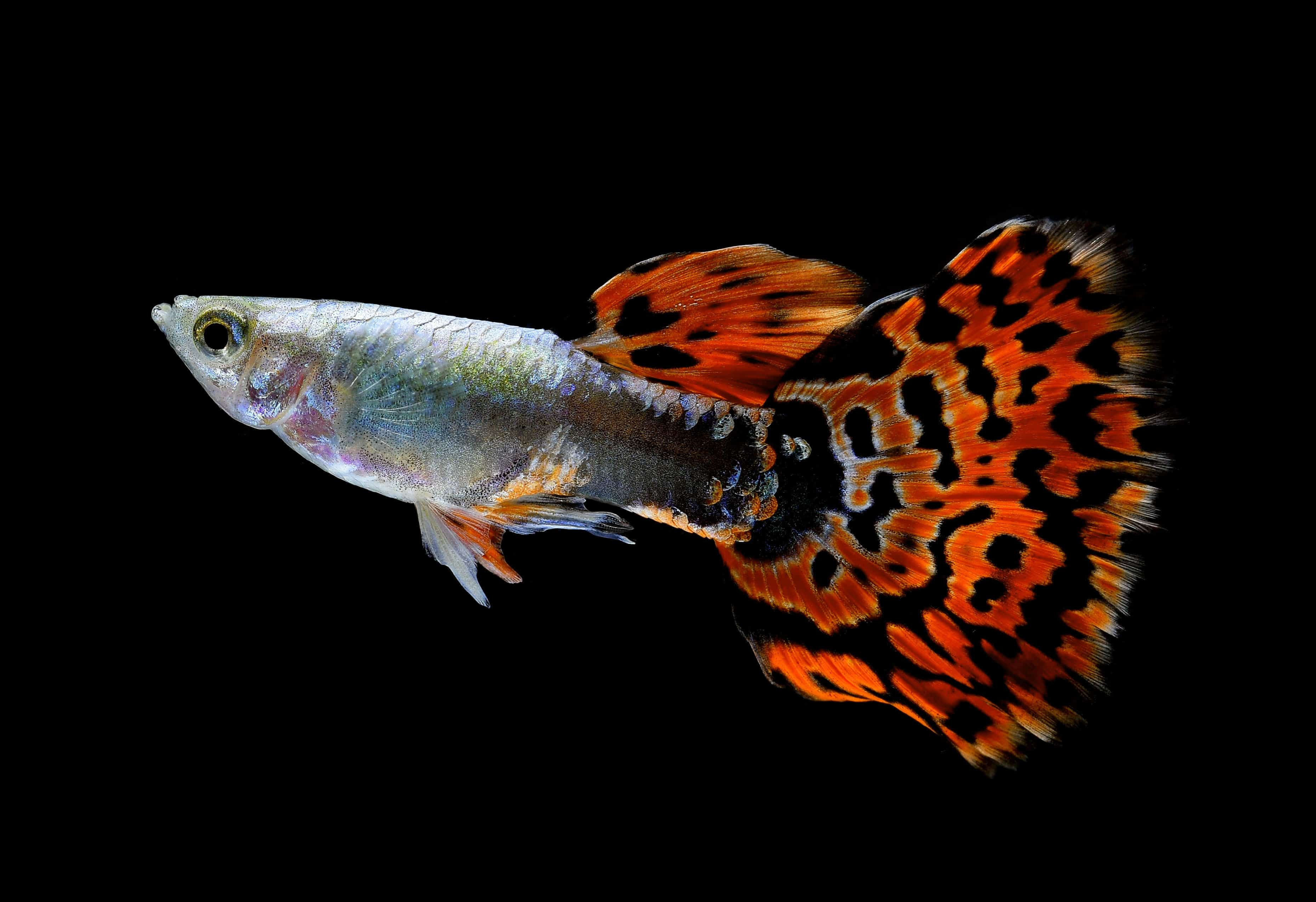 A guppy with bright red, leopard spotted type tail, isolated on black