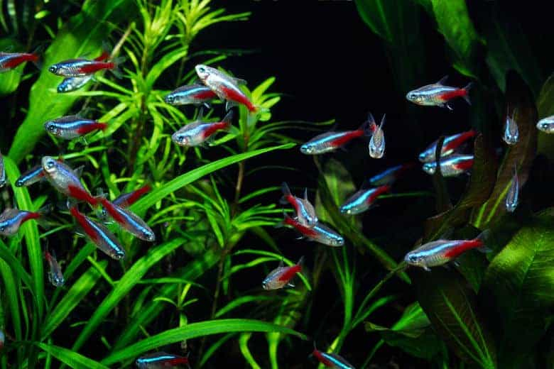 A school of neon tetra in a planted tank