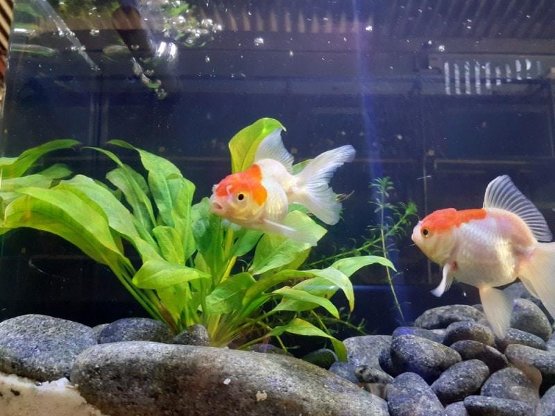 red cap oranda goldfish with amazon sword plant and rocks