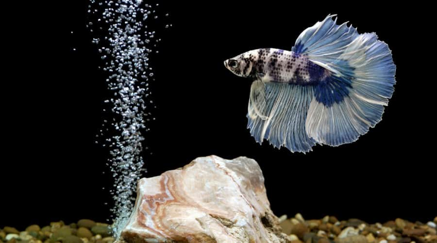 A large finned blue betta in a tank with black background and a trail of bubbles rising