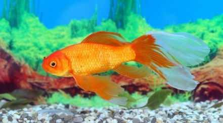 A large single-tailed goldfish super-imposed in front of a blurred aquarium backdrop