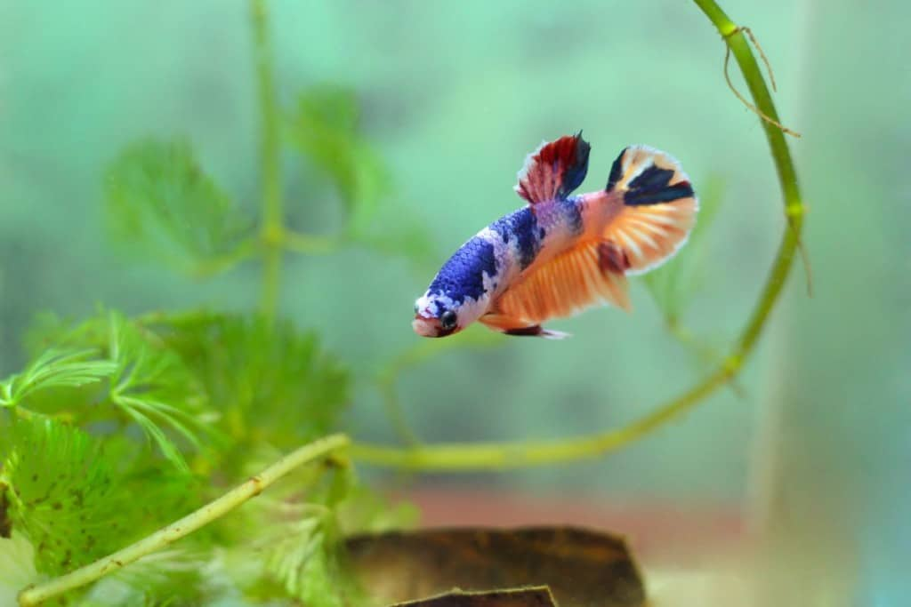 A solitary multi-colored betta in a planted aquarium