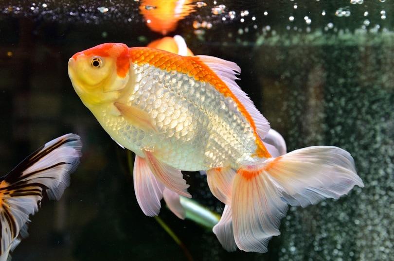 goldfish swimming in the aquarium