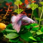 Best Plants for Betta Fish – 9 Live Varieties They Will Love