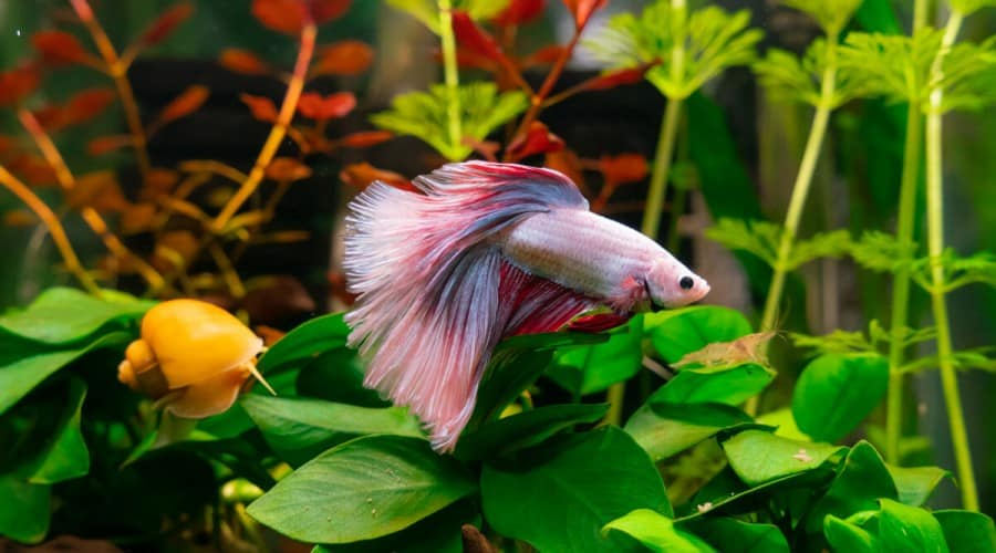 A pink, red and swhite betta swimming in a planted tank beside a snail