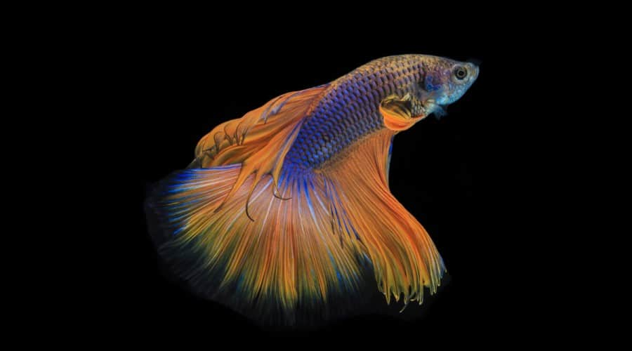 A blue and orange, slightly metallic betta swimming against a black background