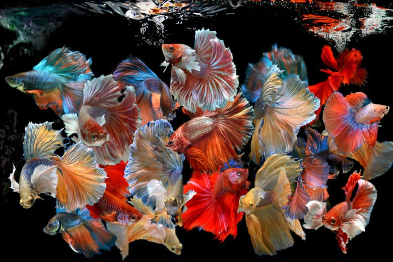 A montage of many beautiful betta fish types on a black background