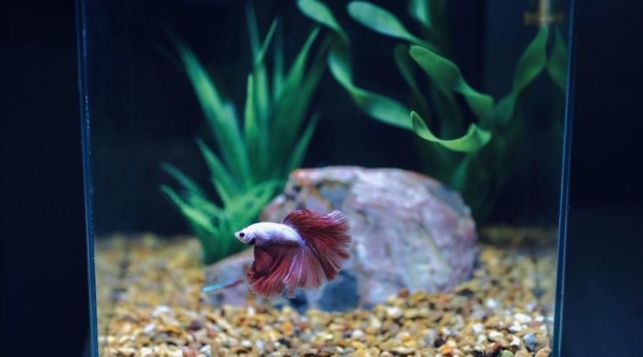 betta inside aquarium