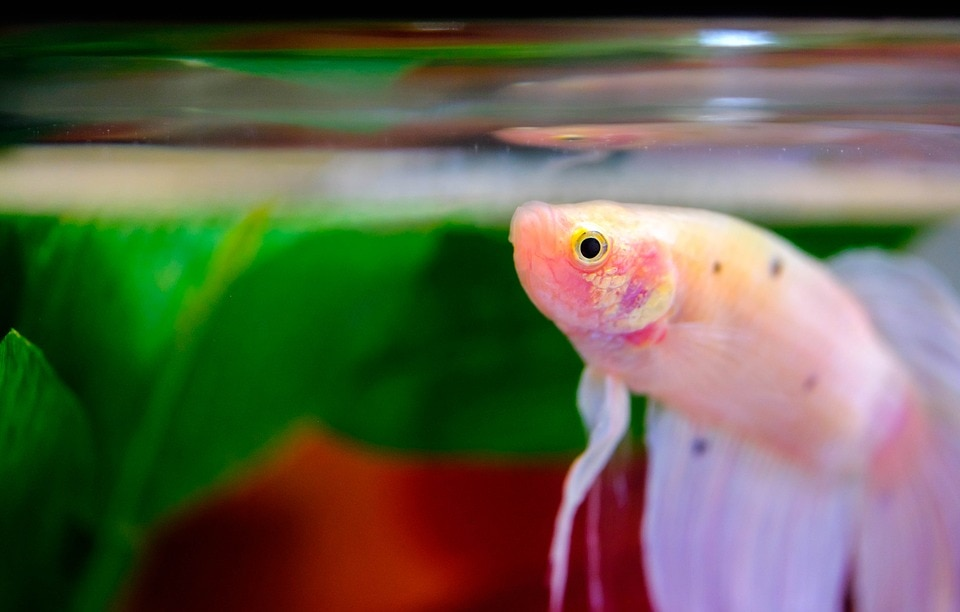 close up betta fish