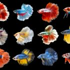 Types of Betta Fish – By Tail, Pattern and Color, With Photos