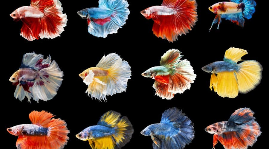 Collection of colorful Siamese fighting fish. Mixed beautiful betta.