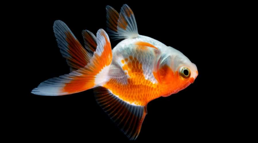 An upside down fancy goldfish isolated on a black background