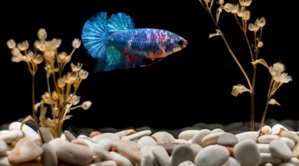 A betta splenden against a black background, with white gravel beneath and some dead looking plants