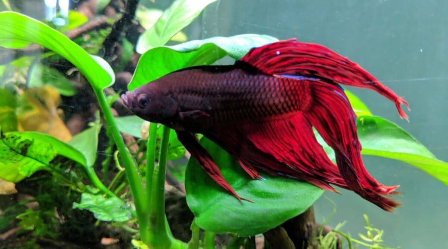 A deep red betta fish resting on the leaf of a plant in its aquarium