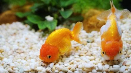 Two orange goldfish looking toward camera, floating just above white gravel