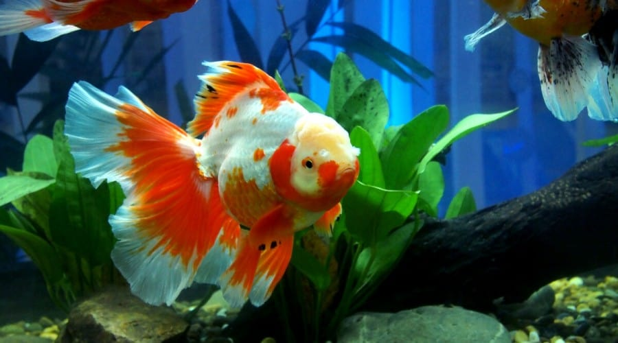 Can Betta Fish Live with Koi and other Fish
