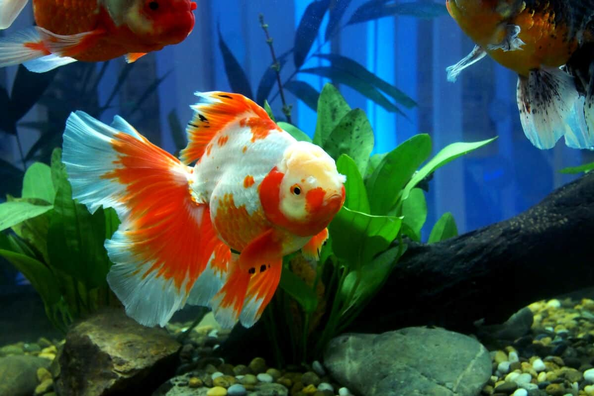 A beautiful, large orange and white fancy goldfish with huge flowing tail, swimming in a planted tank