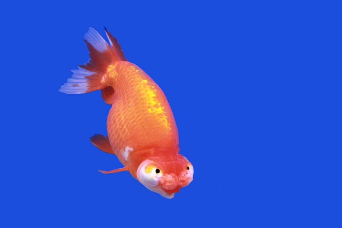 celestial eye goldfish isolated against blue