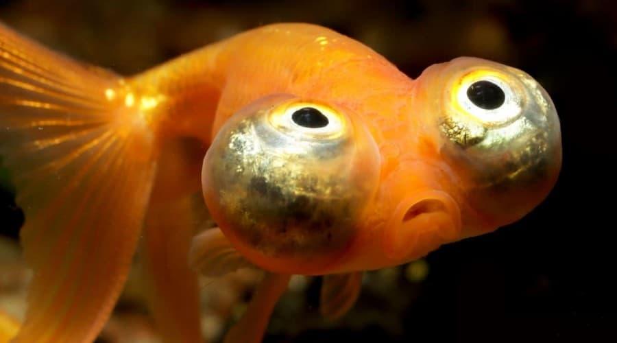 Close up of the eyes of a celestial eye goldfish