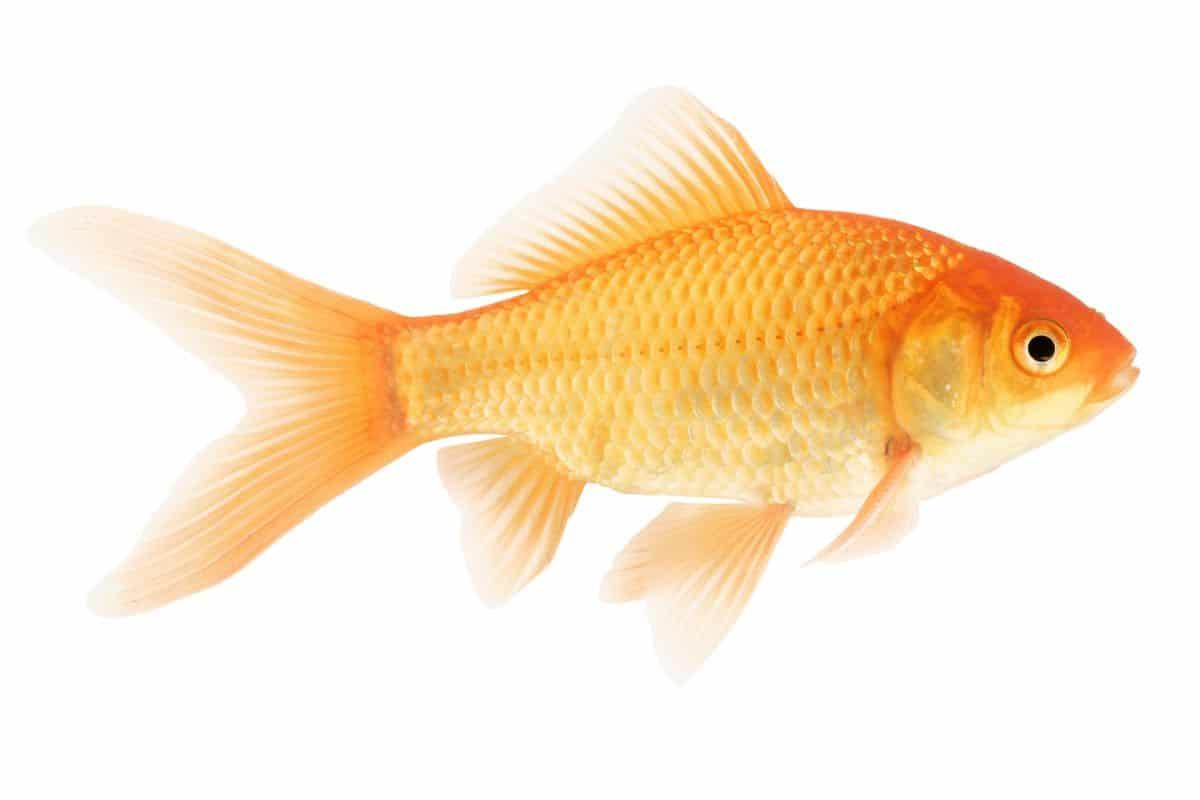 common goldfish isolated on white