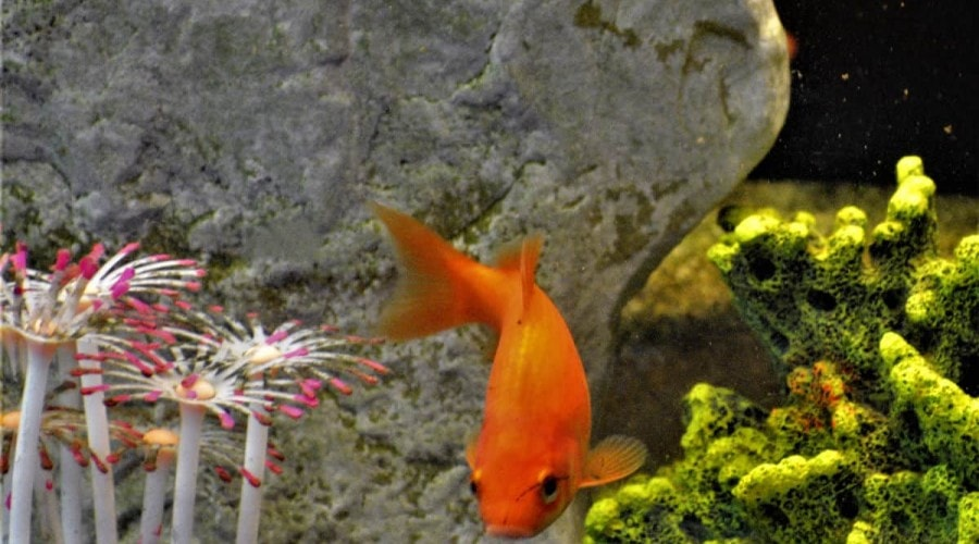 common goldfish turning in front of a large rock