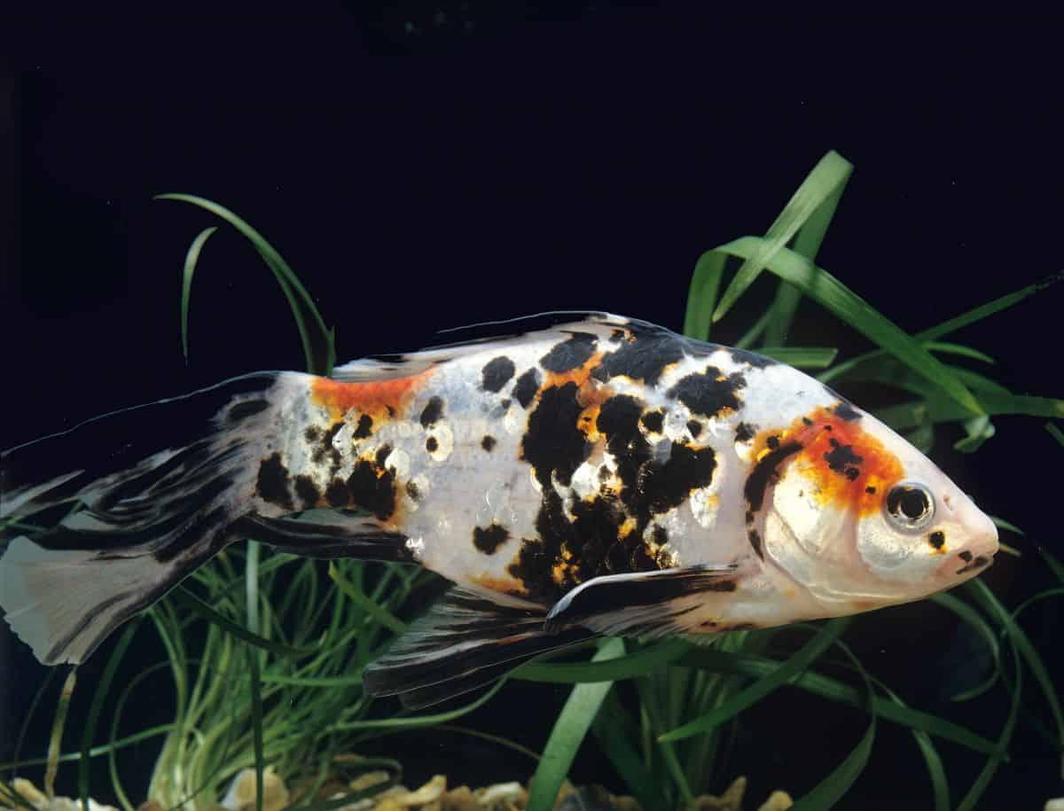 shubunkin goldfish swimming in a dark planted tank