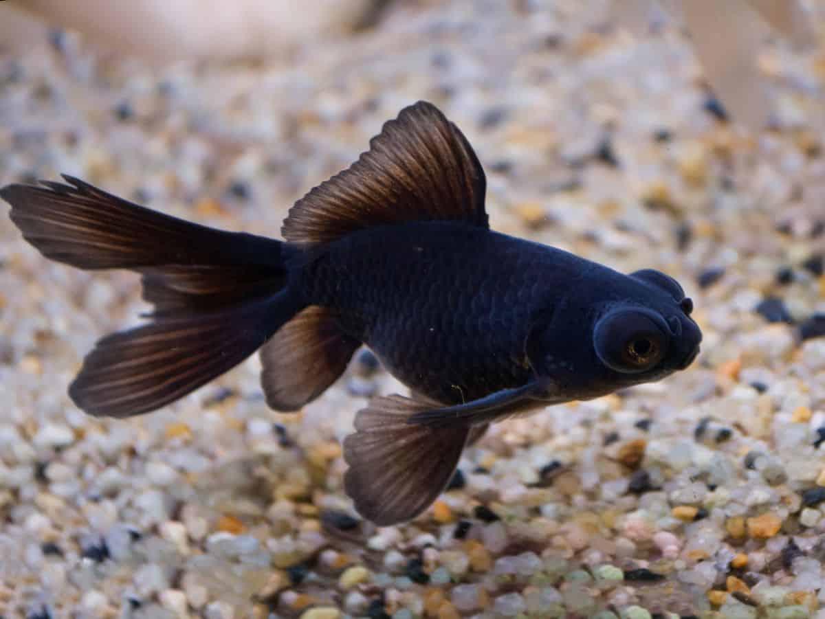 A jet black telescope eye goldfish