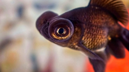 Close up of a telescope eye goldfish showing it's bulging eyes