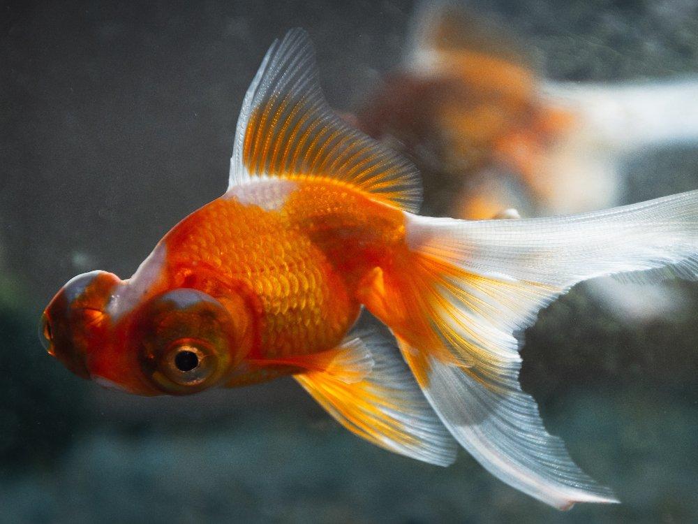 telescope eye goldfish swimming