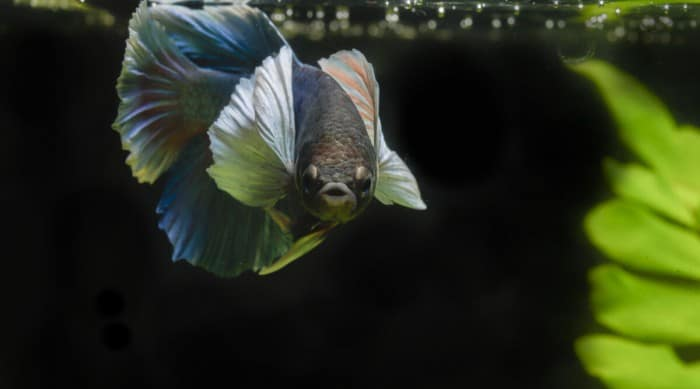 A blue betta fish staring into the camera, face on