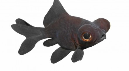 A black moor goldfish isolated on white