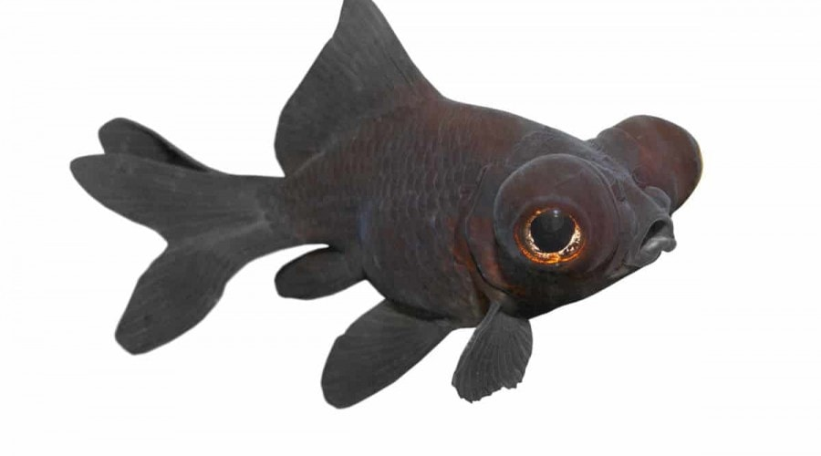 A black moor goldfish isolated on white