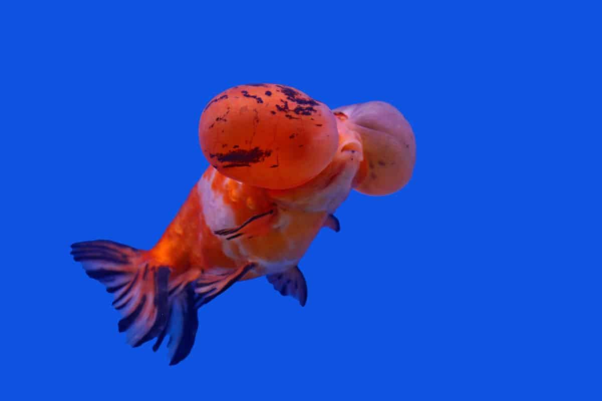 Orange and black bubble eye goldfish isolated on blue