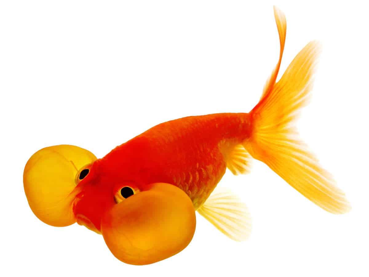 Orange bubble eye goldfish isolated on white