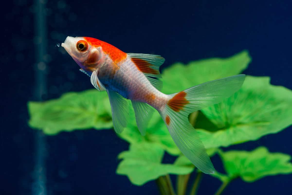 comet goldfish in a planted aquarium