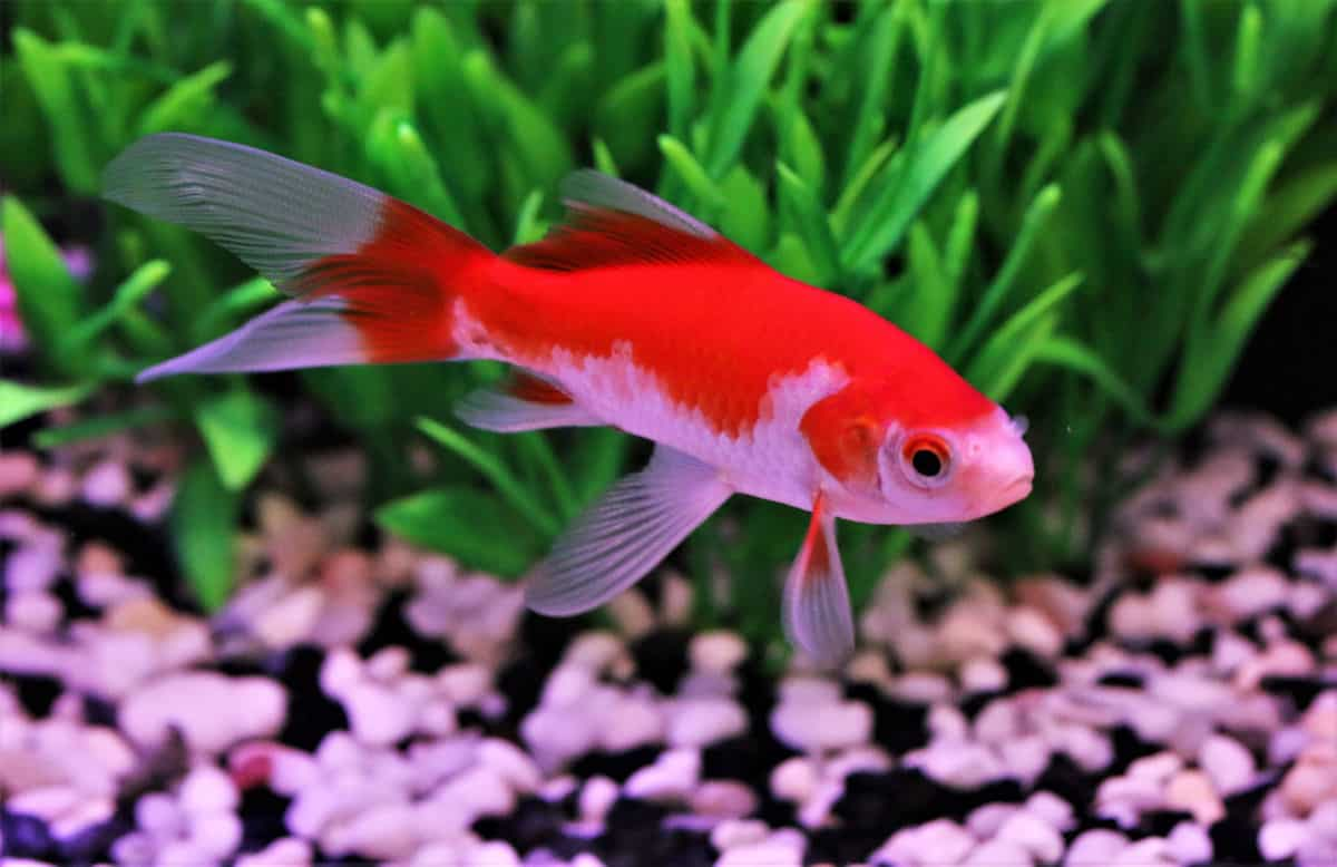 comet goldfish in a planted aquarium with a gravel base