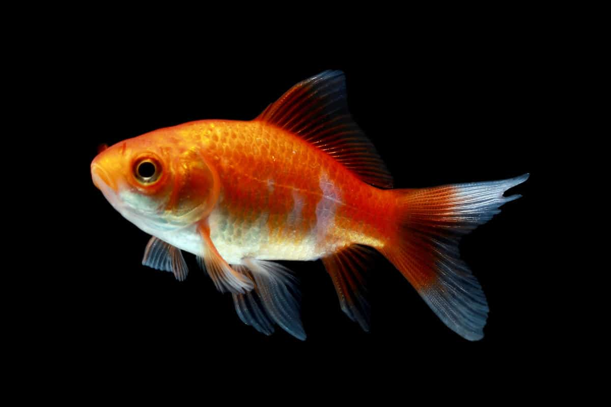 comet goldfish isolated on black