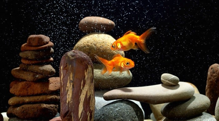 Two orange goldfish in a large tank with balanced, rounded rocks