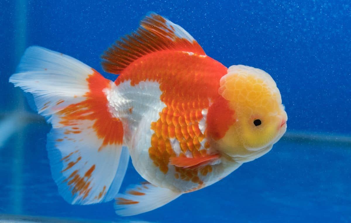 Orange and white lionchu goldfish isolated on blue