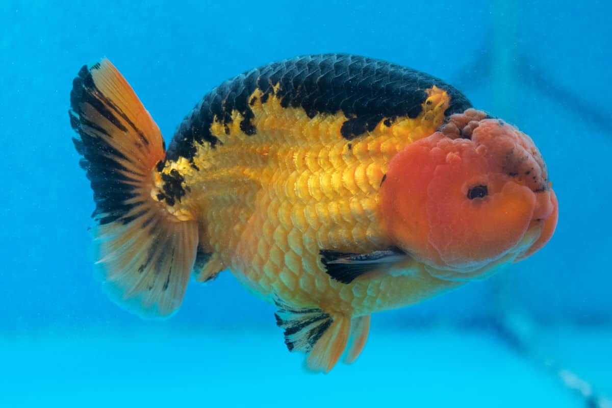 Multi-colored lionchu goldfish against a blue background