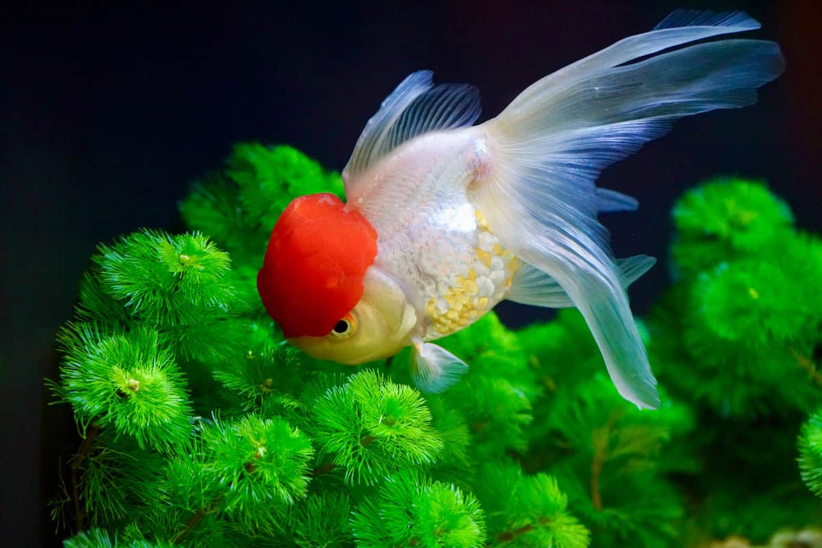 oranda goldfish nibbling at an aquarium plant