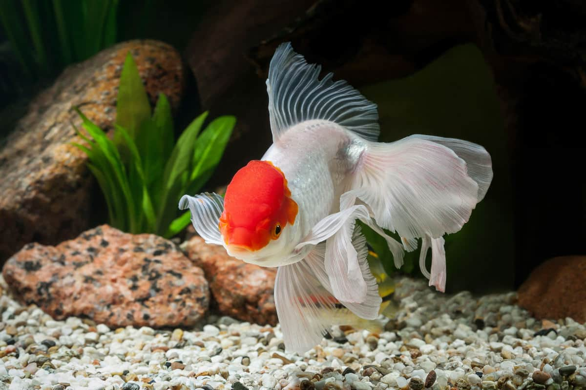 oranda goldfish in a planted tank with light colored gravel