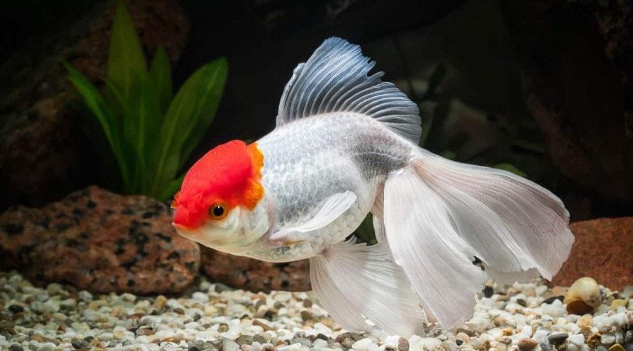 oranda goldfish in a dark aquarium with a gravel lined bottom