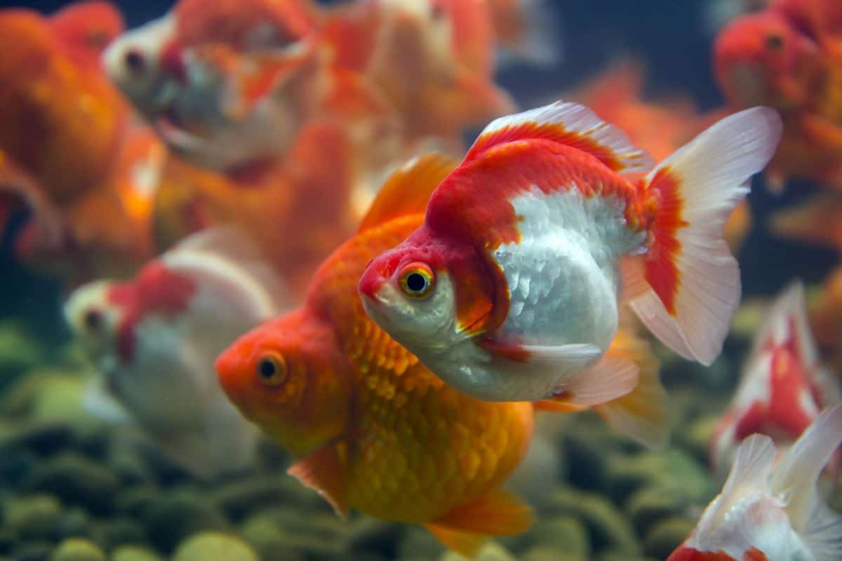 2 ryukin goldfish, one orange, one red and white
