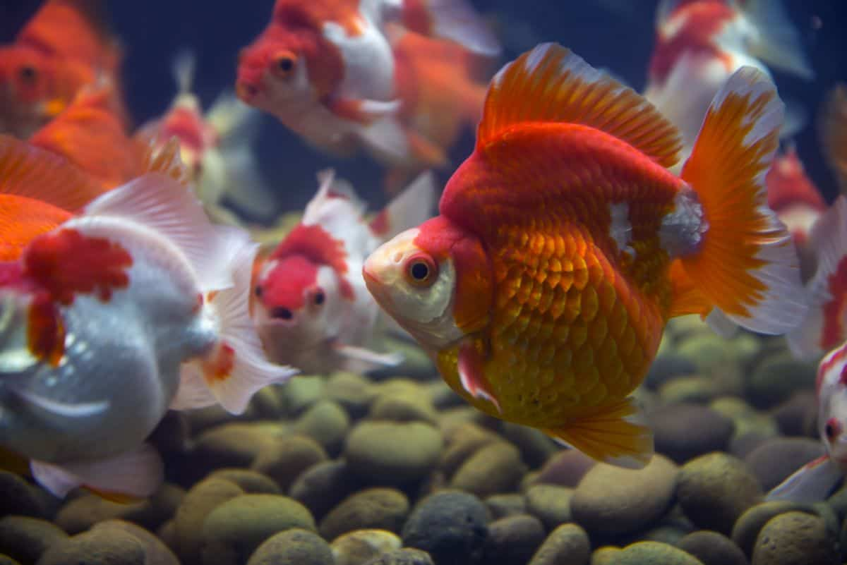 Close up of a ryukin goldfish with a very large hump on it's back