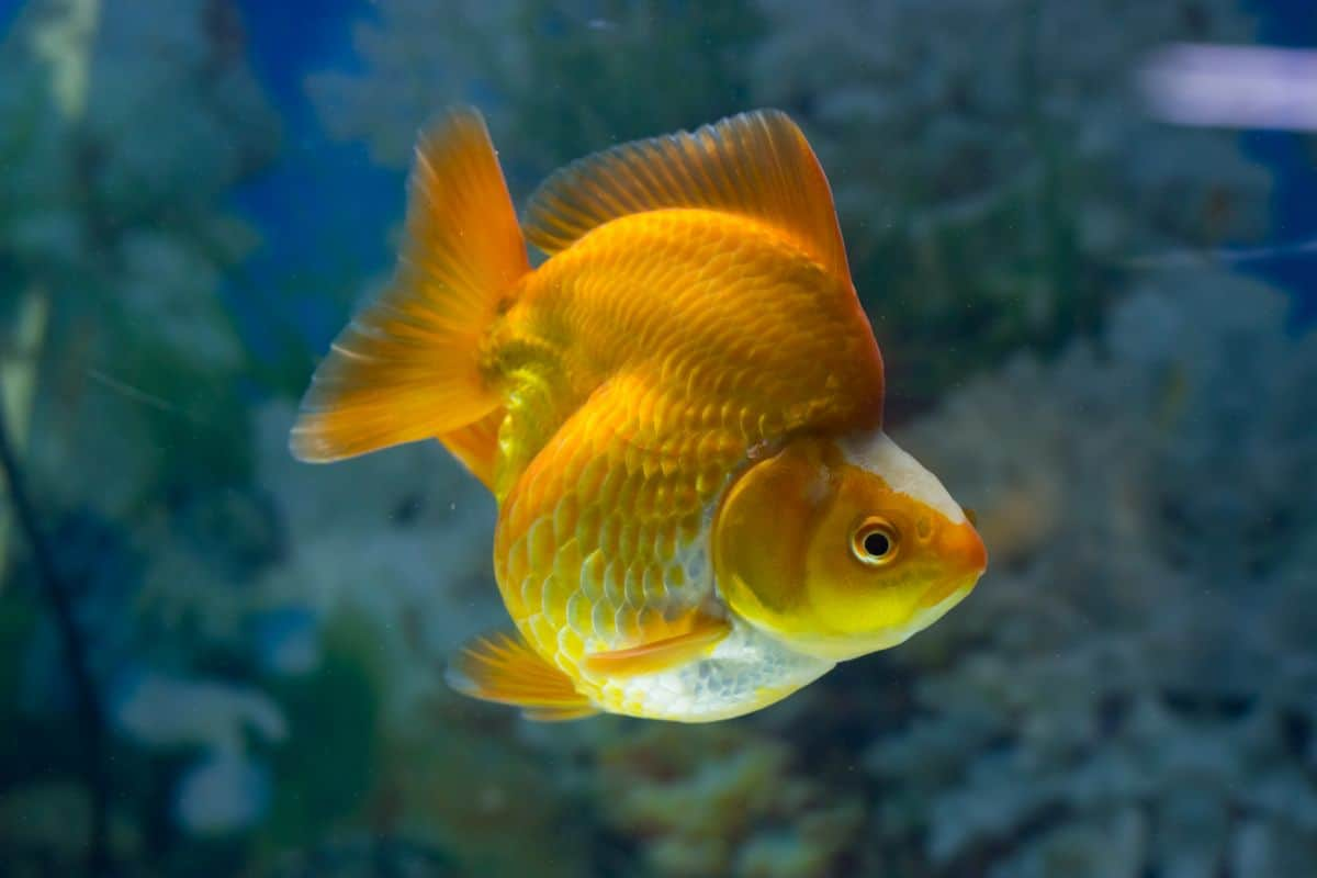 A large orange ryukin goldfish