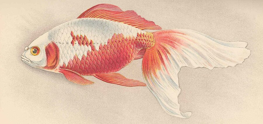 watonai goldfishfish