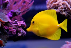 Zebrasoma flavescens Yellow Tang fish with purple coral reef
