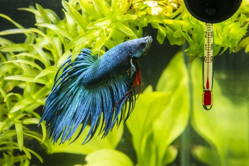 blue betta fish in aquarium