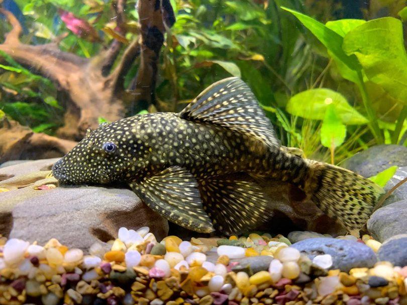 Bristlenose Plecos inside aquarium
